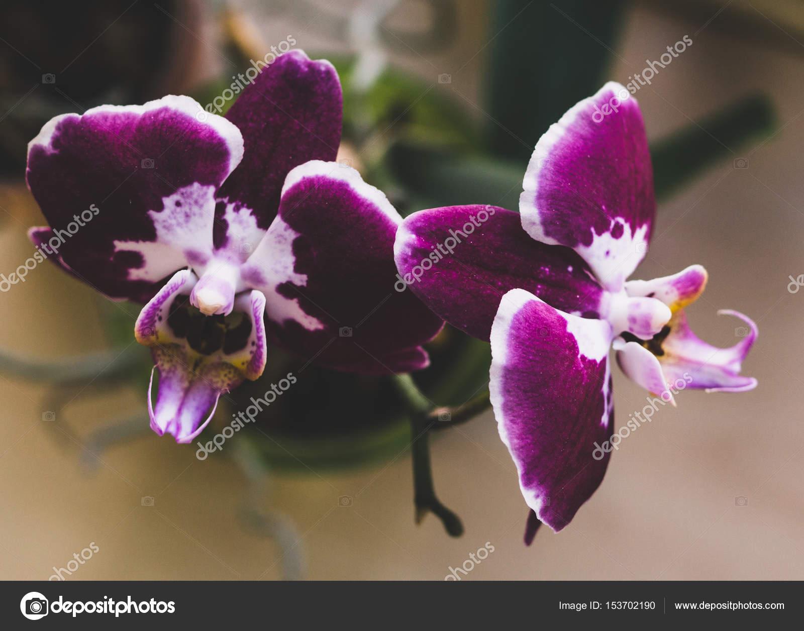 Bluhende Zimmerpflanzen Zimmerpflanzen Stockfoto C Myrlyandiya