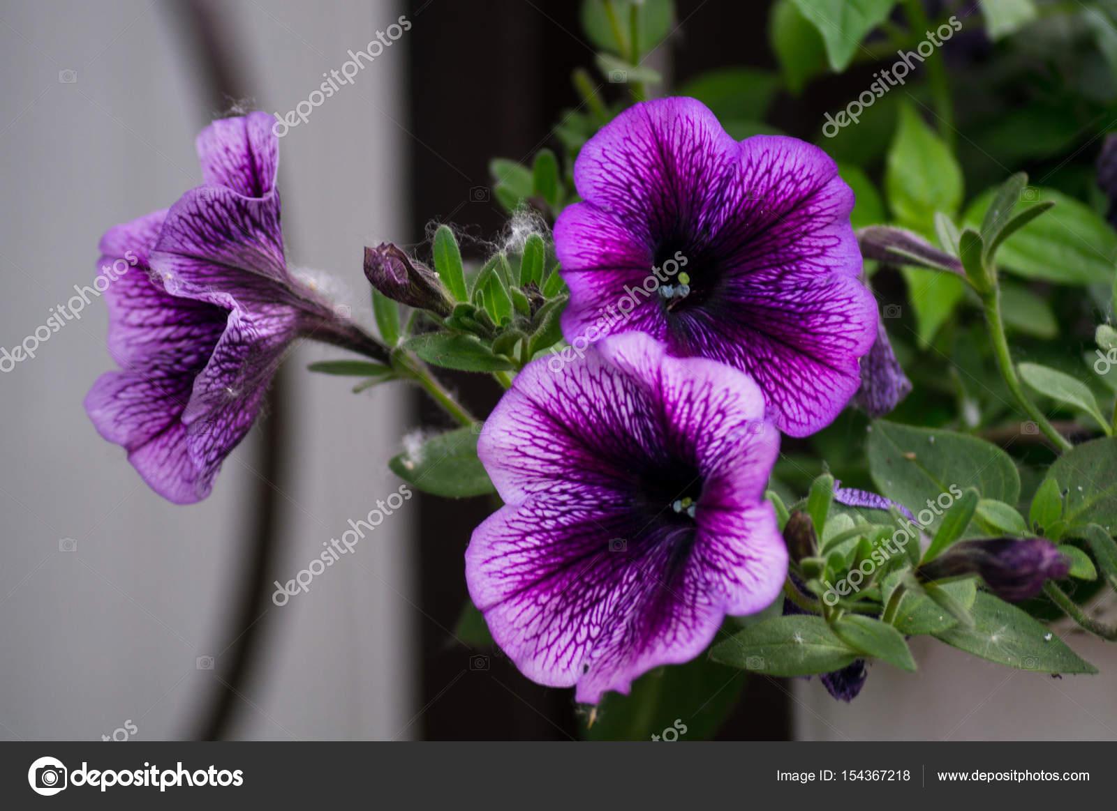 Bluhende Zimmerpflanzen Zimmerpflanzen Gartenpflanzen Stockfoto