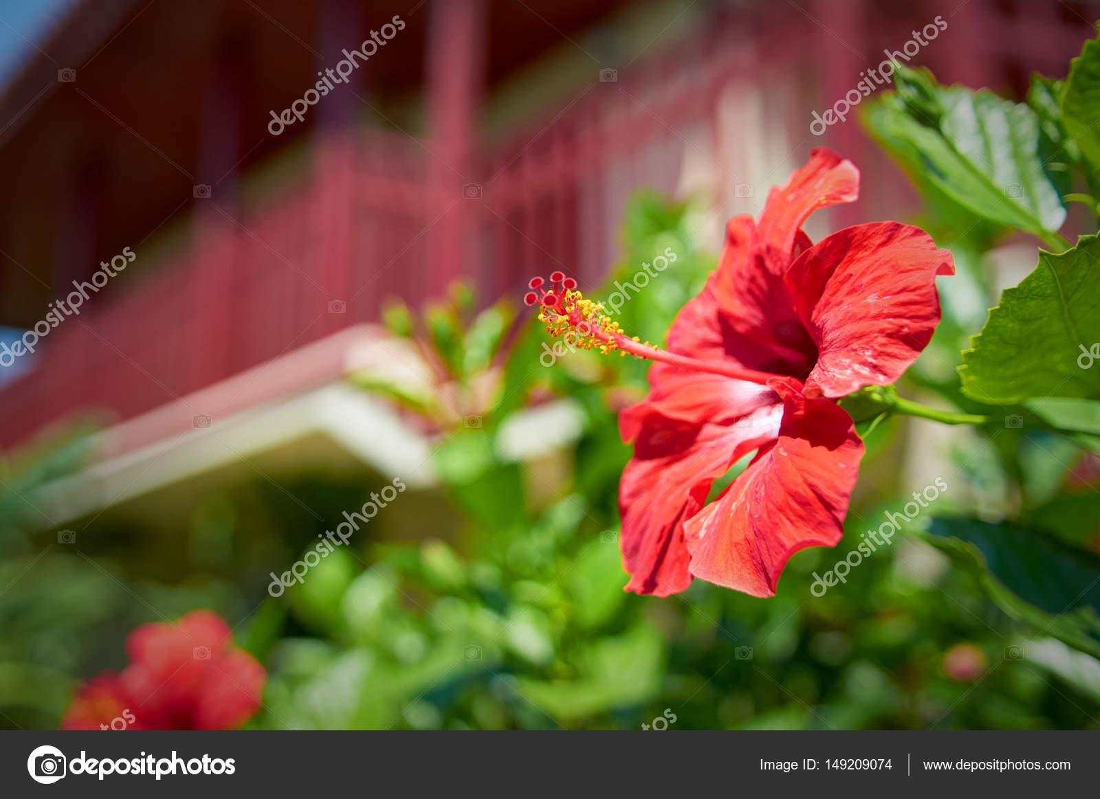Fleur D Hibiscus Rouge Magnifique Dans Le Jardin De L Hotel En Face