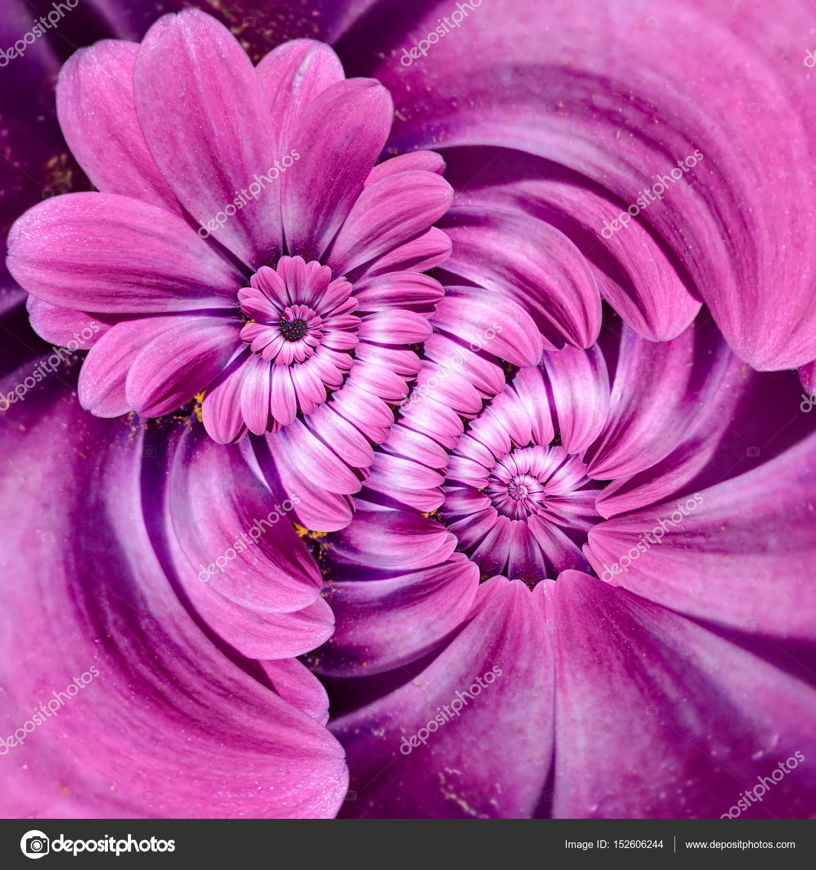 Pink magenta camomile daisy flower double spiral petals abstract pink magenta camomile daisy flower double spiral petals abstract fractal effect pattern background floral spiral izmirmasajfo