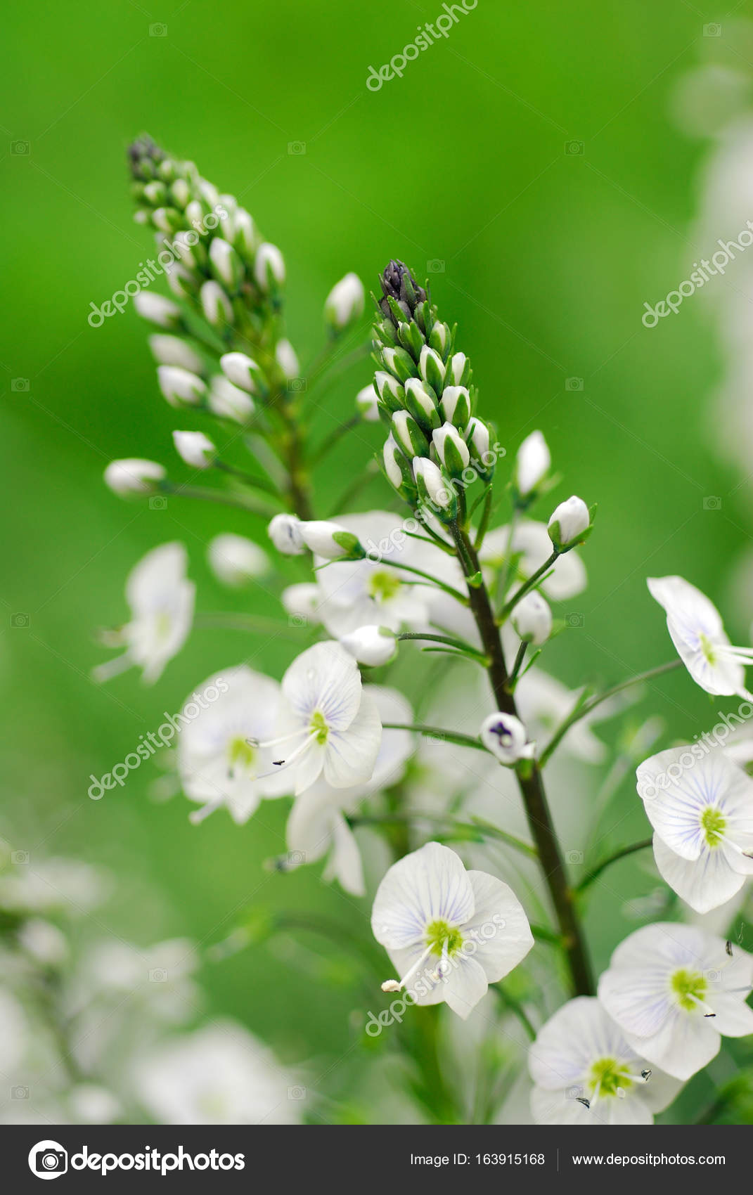 White blossoming flowers grass in may white green meadowland white blossoming flowers grass in may white green meadowland flowers stock photo mightylinksfo