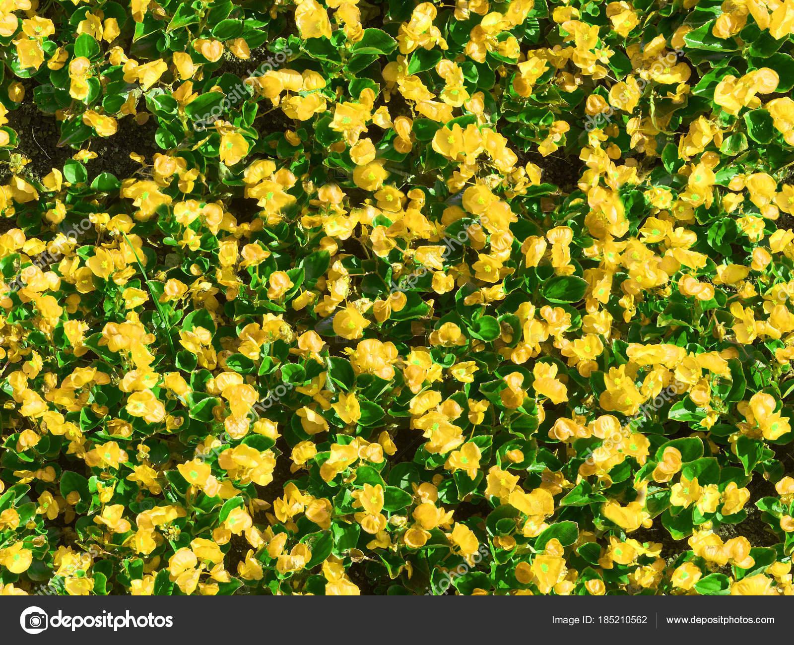 Yellow Flower Green Leaves Pattern Background Many Blossom Yellow
