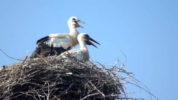 Čáp bílý pták hnízdo