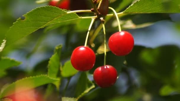 Cherry ripe branch red spring
