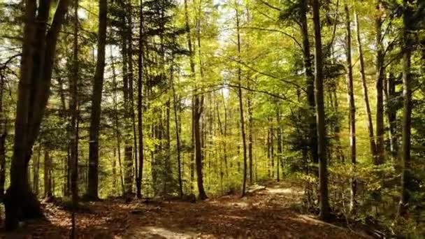 Mlhavé lesní podzimní paprsky slunečních stromů