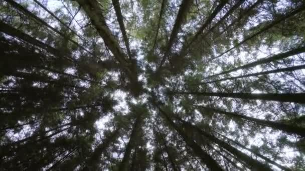 Dolní pohled na slunce skrze vysoké kmenové borovice v zeleném lese v přírodě. Přesunout kameru