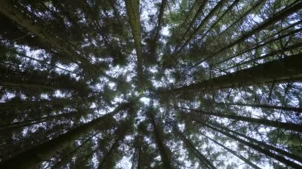 Alsó kilátás a nap keresztül magas törzs fenyőfák zöld erdőben a természetben. Forgassa el a kamerát
