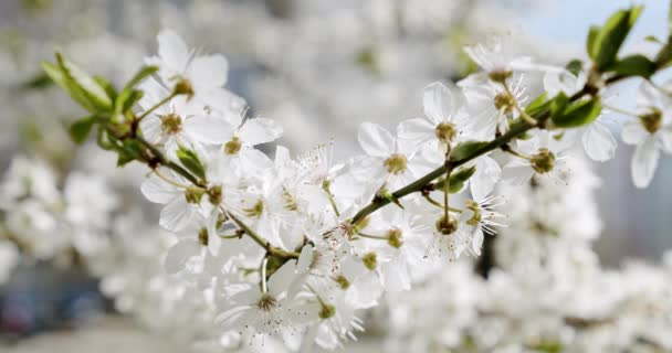 White Flowers Cherry flowering Tree flowering. Close up