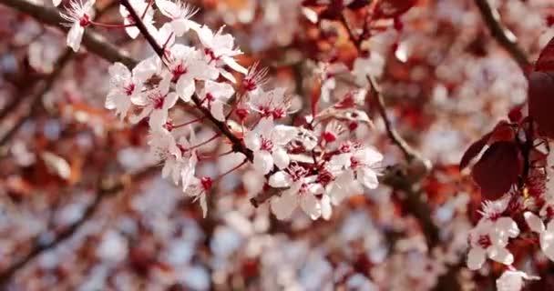 Zavřít květ třešně, cesta ve větru detailní pozadí. Růžová sakura květiny