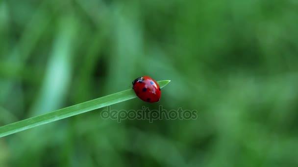 Červená Beruška (slunéčko sedmitečné), chůzi na stéblo trávy