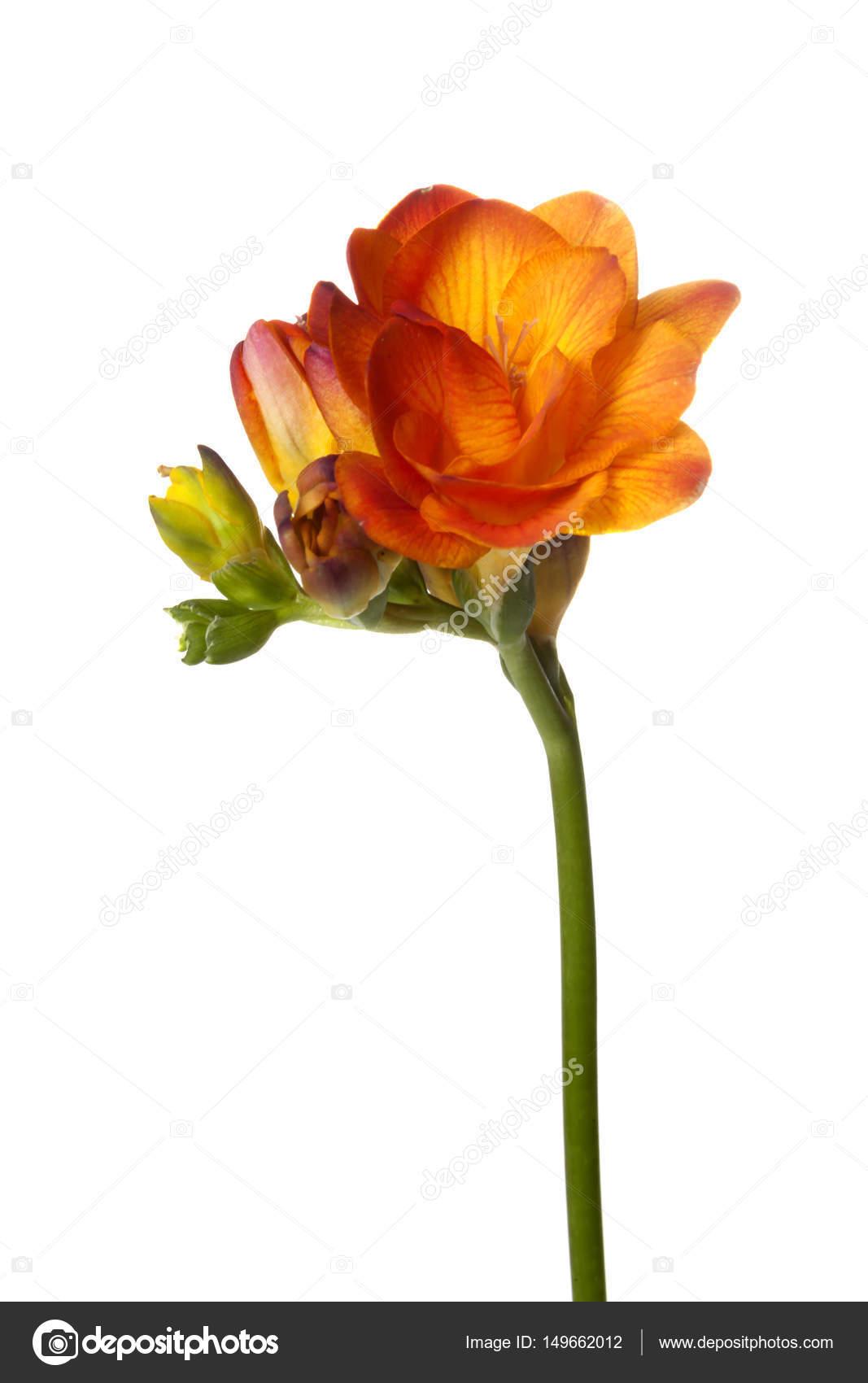 Orange freesia flower stock photo marlonnekewillemsen 149662012 orange freesia flower isolated on white background photo by marlonnekewillemsen mightylinksfo