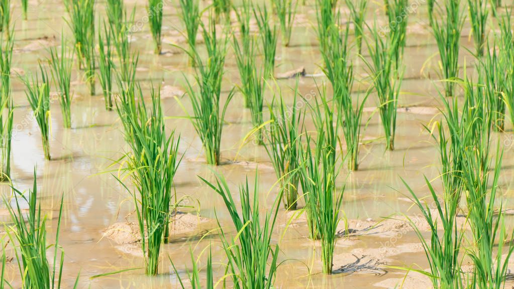 young rice are growing in the paddy field