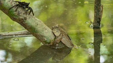 Amphibious fish in mangrove forest, Thailand