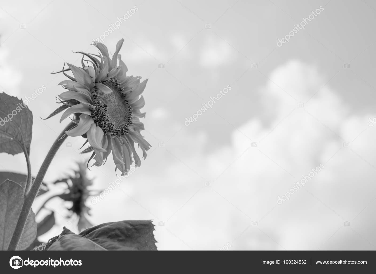 Sunflower Sky Background Black White Fotografia De Stock