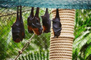 Fruit bats are sleeping