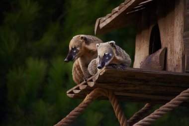 Cute coati wild animal closeup