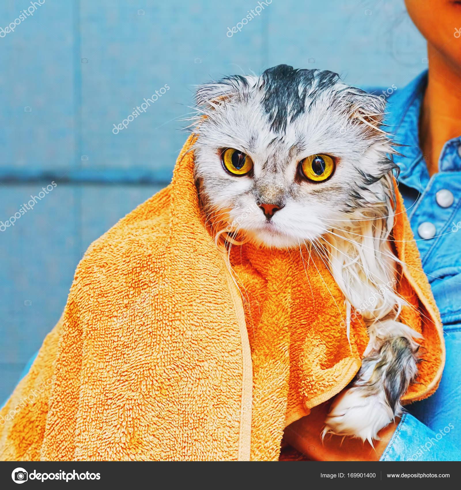 55b20248d830 LOP eared σκωτσέζικο higland γάτα υγρό και απόλυτα δυσαρεστημένος μετά το  πλύσιμο και το μπάνιο τυλιγμένη με πετσέτα μπάνιου. Πλατεία σύλληψη —  Εικόνα από ...