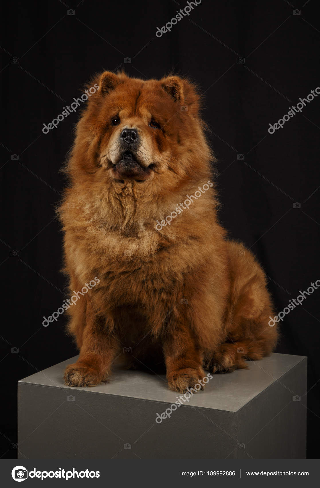 Chow Chow Hund Sieht Aus Wie Ein Bär Stockfoto Kmmna At Yandexru
