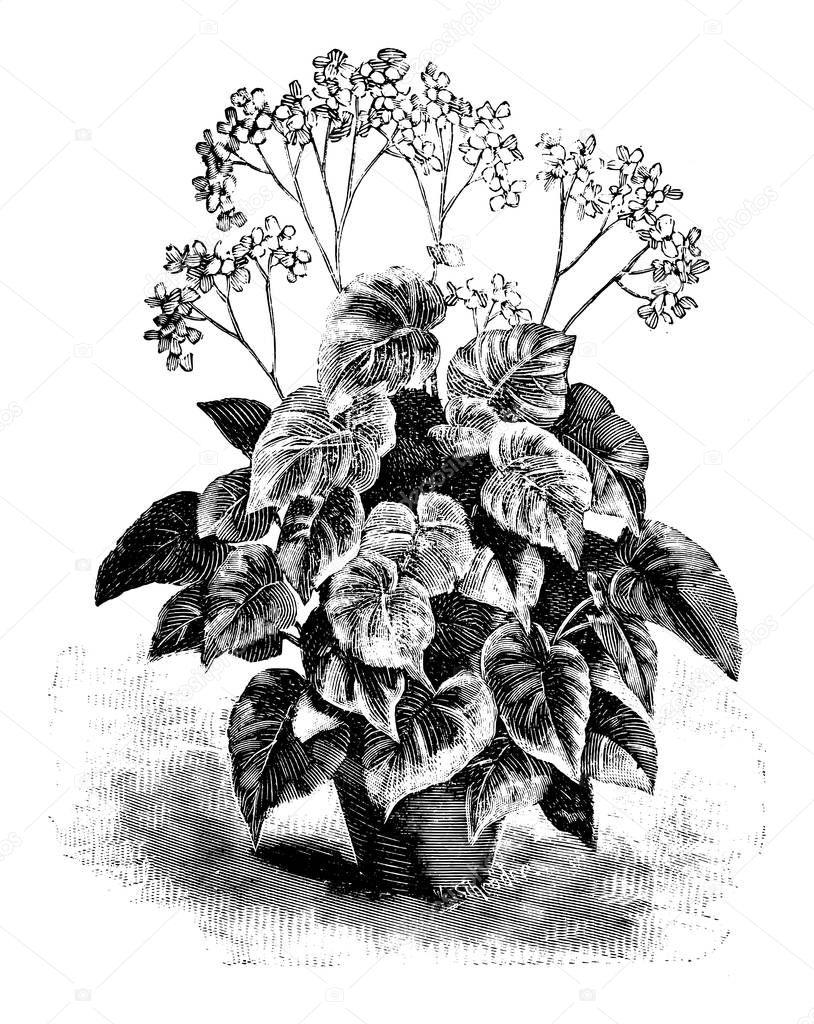 Antique Vintage Line Art Vector Illustration Engraving Or Drawing Of Begonia Credneri In Flower Pot Premium Vector In Adobe Illustrator Ai Ai Format Encapsulated Postscript Eps Eps Format