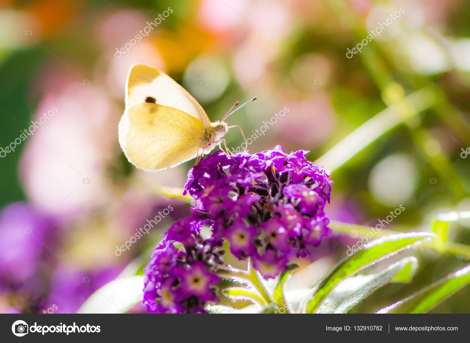 White Cabbage Butterfyl On A Flower Blossom Stock Photo