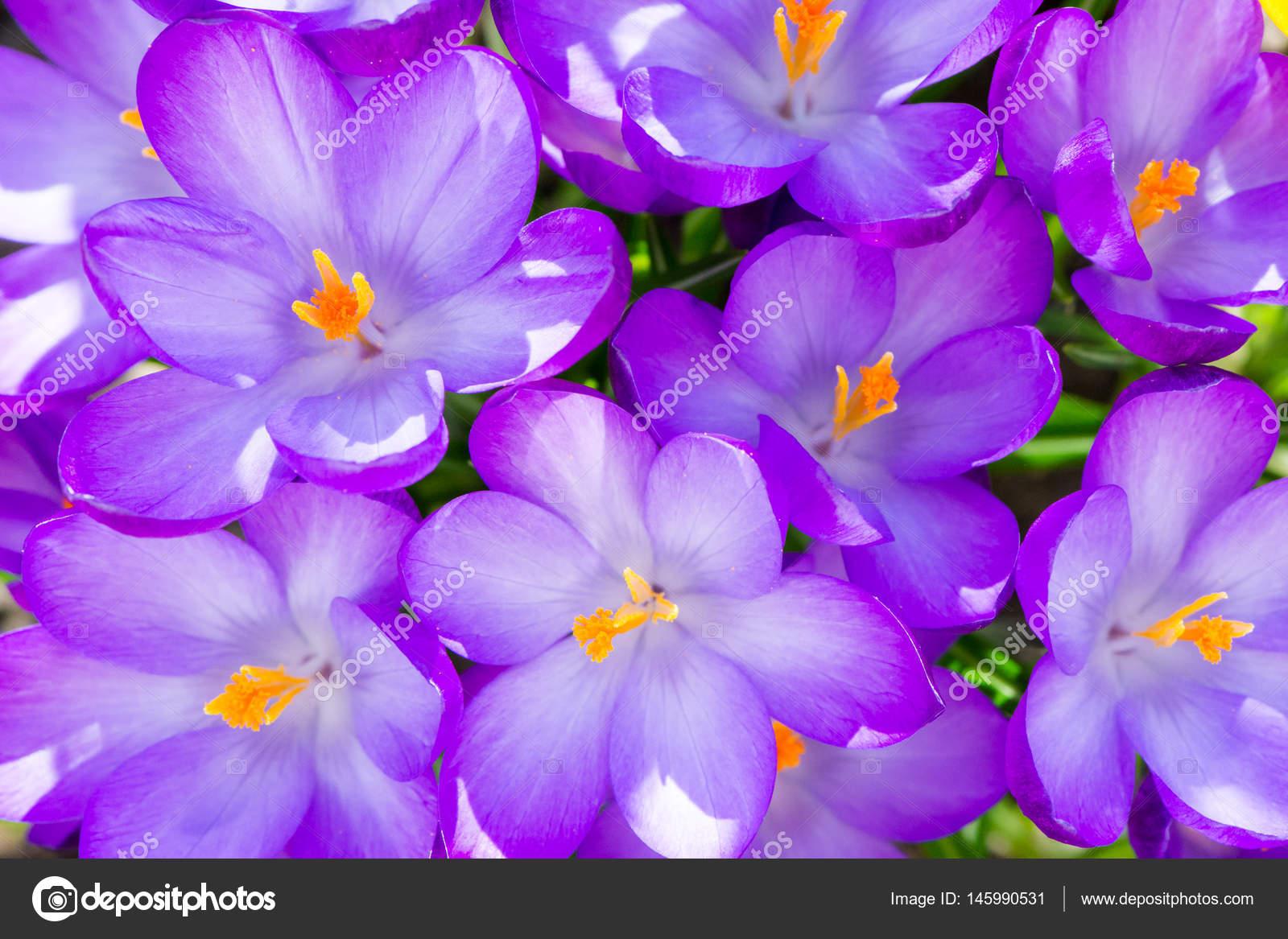 Sfondo Fiori Viola Del Fiore Del Croco Foto Stock Manfredxy