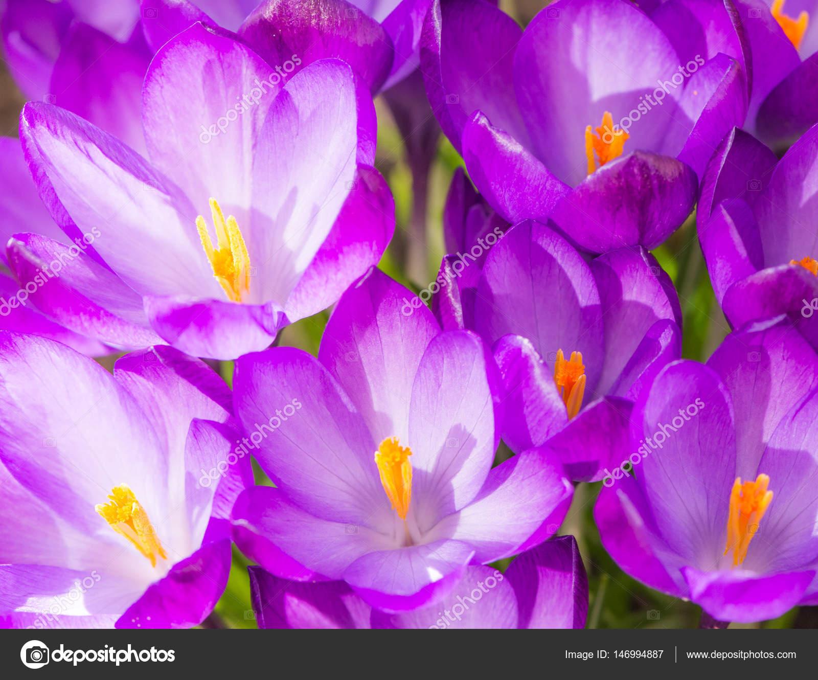 Immagini Fiore Croco Sfondo Fiori Viola Del Fiore Del Croco