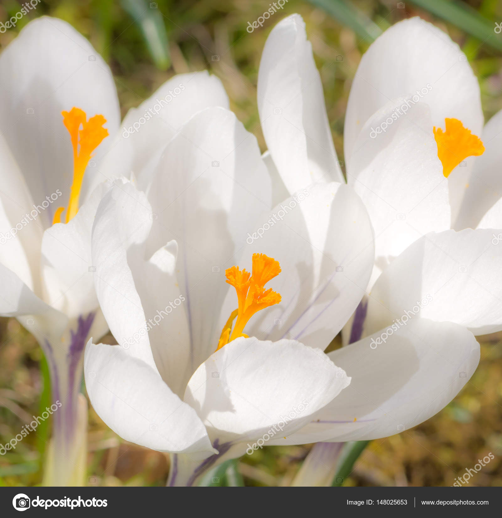 White crocus flower blossoms stock photo manfredxy 148025653 white crocus flower blossoms stock photo mightylinksfo