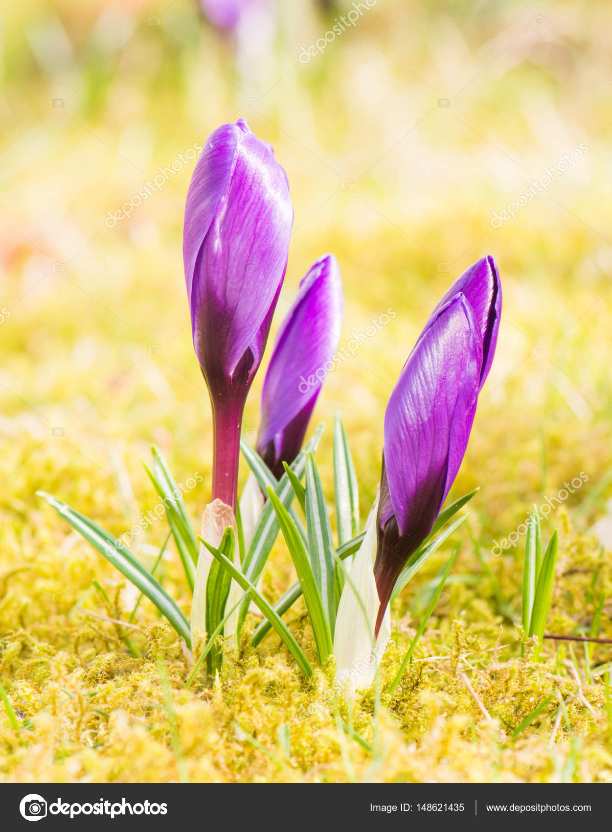 Purple Crocus Flower Buds In Spring Stock Photo Manfredxy 148621435