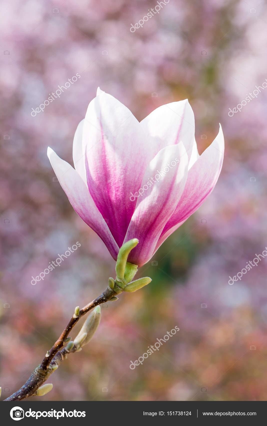 fleur de magnolia rose au printemps photographie. Black Bedroom Furniture Sets. Home Design Ideas