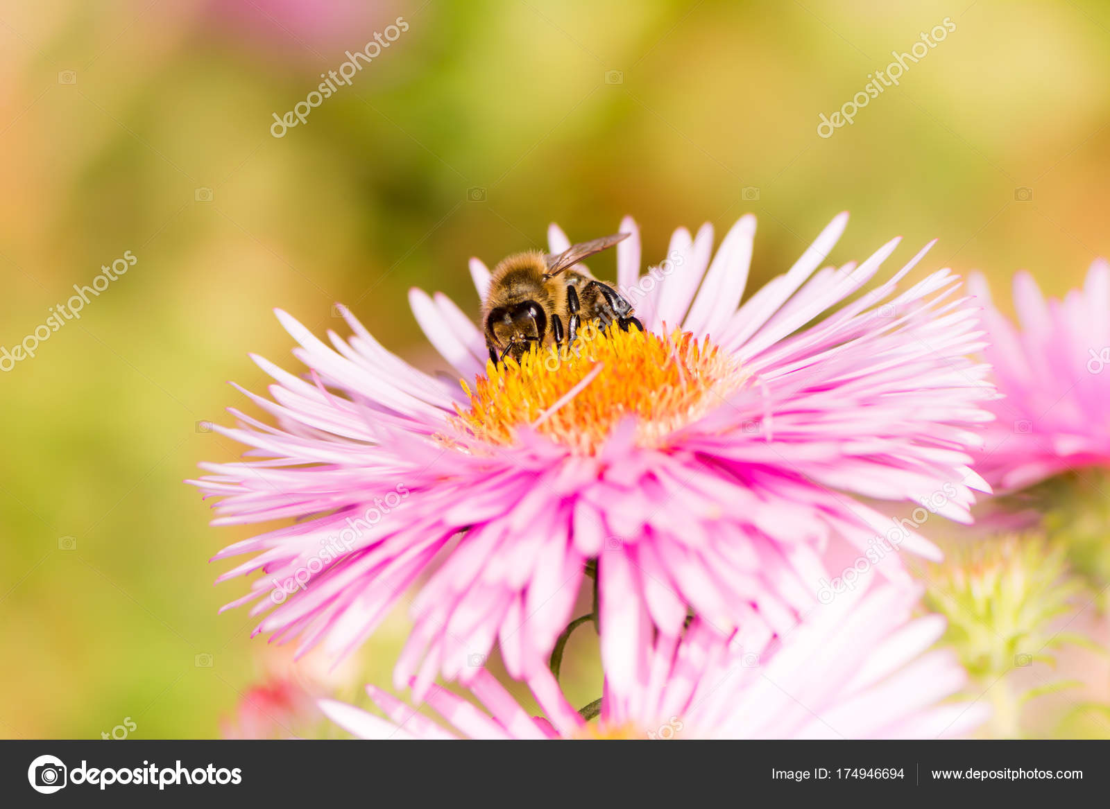 Bee On A Pink Aster Flower Stock Photo Manfredxy 174946694