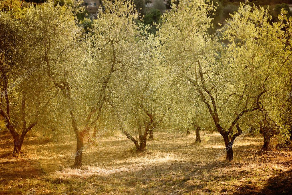 Olive trees growing in hot climate