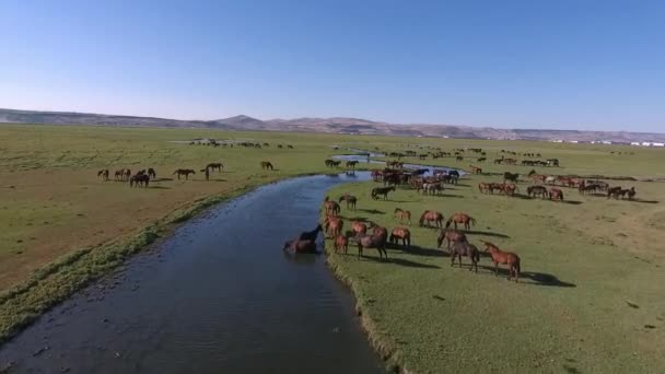 Horses are walking at the lake drone video