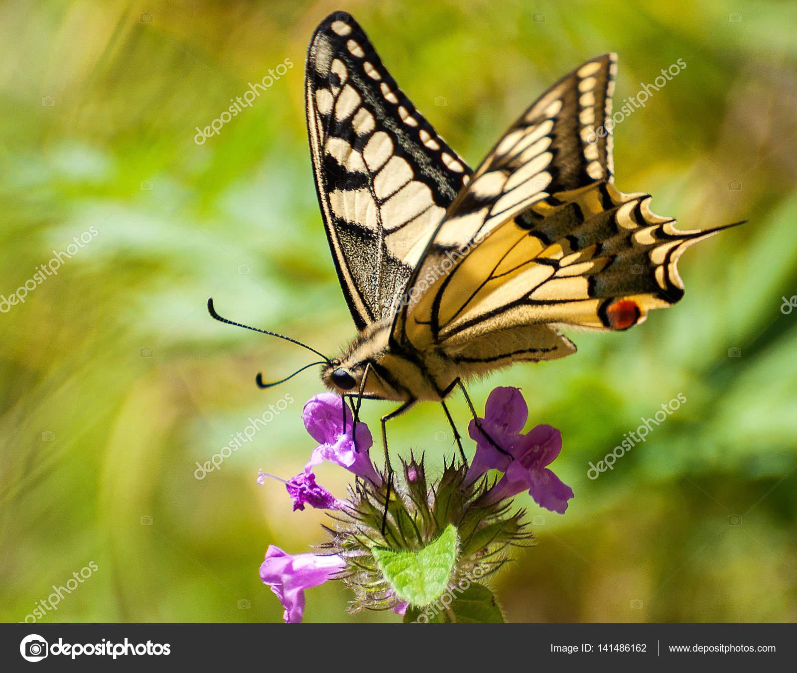 Closeup papillon sur fleur papillon et fleur papillon - Papillon fleur ...