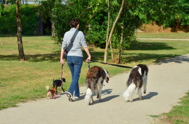 A woman is walking different breeds of dogs simultaneously