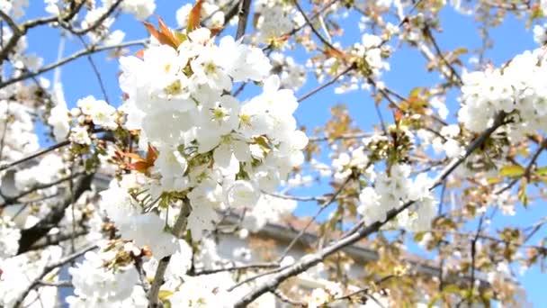 Krásné bílé Kvetoucí třešeň sakura v jarním období po modré obloze