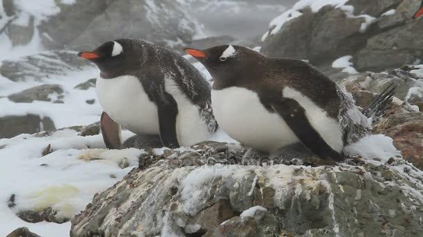 két női Gentoo pingvin ül egy fészket a tavaszi hóvihar