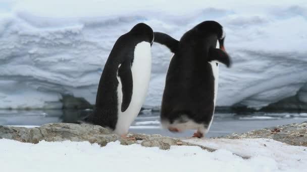 férfi és élvezettel Gentoo pingvinek-a jövő a fészek a tavaszi nap