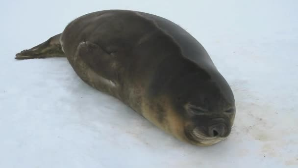Young southern elephant seal lying on the snow in Antarctica