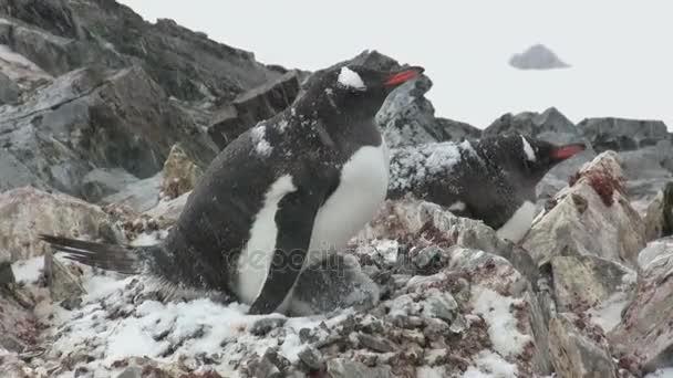 pinguino Gentoo femminile che si siede su un nido in primavera quando cè neve bagnata
