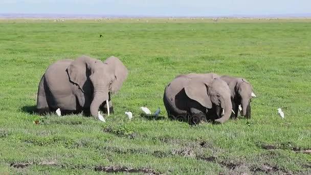 Skupina afrických slonů, krmení v bažině volavky a jiné ptactvo