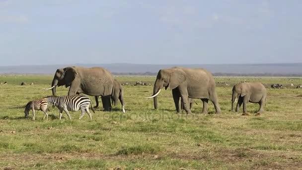 malé stádo afrických slonů a zeber, pastviny v savany na pozadí stáda kopytníků