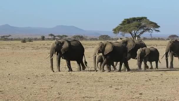 stádo slonů průjezdem sušených savany na pozadí afrických hor a akáty