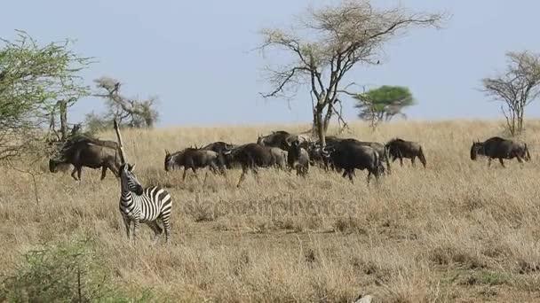 Due zebre e una mandria di oca wildebeest camminando tra lerba alta e secca in savagete del Serengeti nella stagione secca