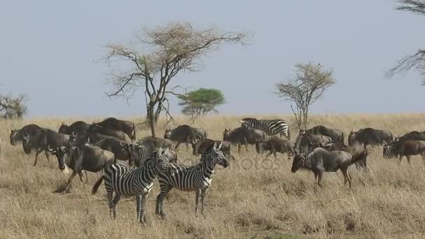 Dvě zebry, stojící v suché trávě na pozadí tok migrace pakoně v období sucha v Serengeti