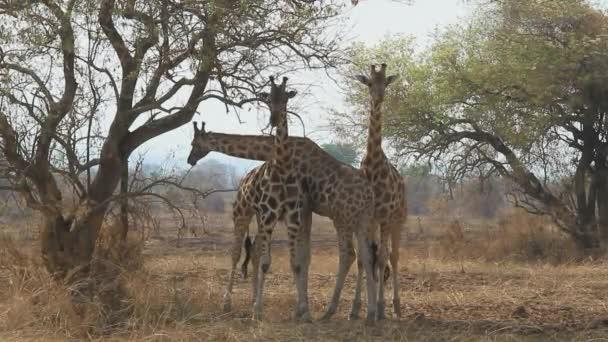 Tři žirafy, stojící pod akáty a jíst jejich větve a listy