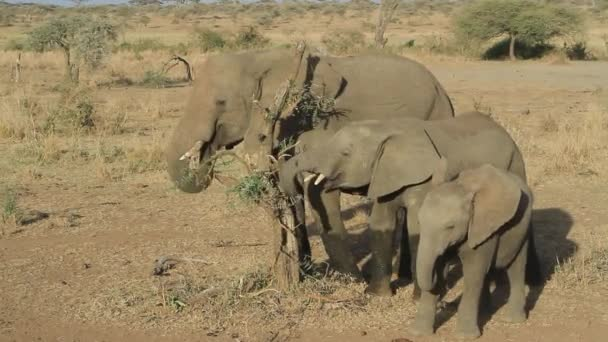 Tři mladí sloni pojídali zbytky listů suché nefunkční akátu