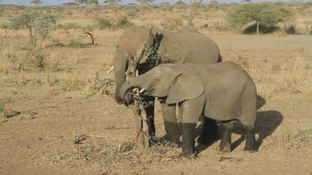 Dva mladí sloni pojídali zbytky listů suché nefunkční akátu