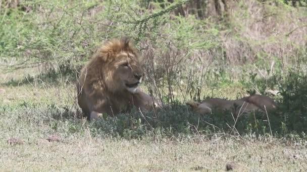 Samec a samice lva odpočívá ve stínu stromu na úbočí kráteru Ngorongoro