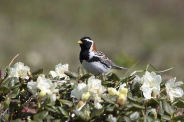 male LAPLAND BUNTING that sits on a flowering Labrador tea bush