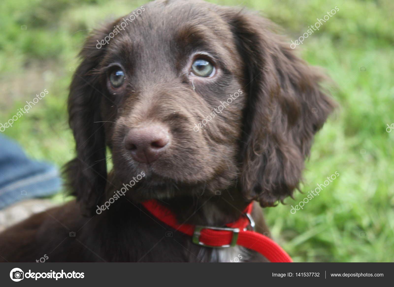 Very Cute Brown Working Type Cocker Spaniel Pet Gundog Puppy Stock Photo C Chrisga 141537732